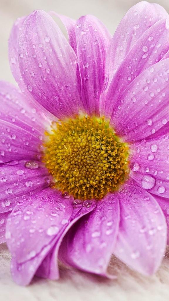 iPhone 6 wallpaper met roze bloem